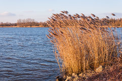 Golden reeds waving in the late afternoon sun Stock Photography