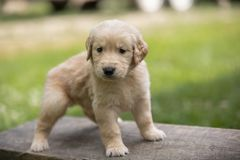Golden Retiever Puppy. Small Golden Retiever puppy outside being playful on block of wood Stock Photography