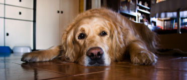 Golden Retreiver Stock Image