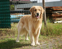 Golden retreiver. A cute golden retreiver in the park Stock Photography
