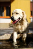 Golden Retreiver Stock Photos