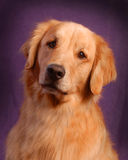 Golden Retreiver Stock Photo