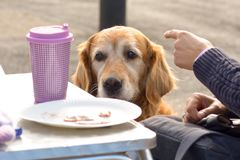 Golden retreiver dog being fed bits of bacon. Golden retreiver dog begging to be fed bits of bacon at cafe royalty free stock photo