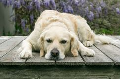 Golden Retreiver dog laying on deck with head down. Pretty golden retreiver dog lays facing forward on a wooden platform with her head down resting on the wood Royalty Free Stock Photo