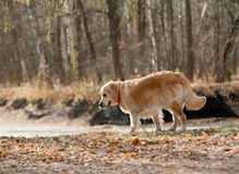 Golden retreiver dog in the park Royalty Free Stock Photography