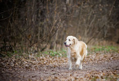 Golden retreiver girl on a walk Stock Image