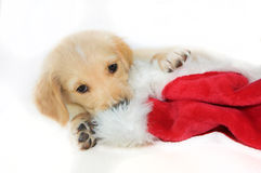Golden retreiver or labrador puppy playing with sant hat Royalty Free Stock Image