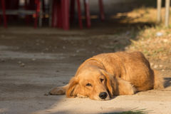Golden retreiver Royalty Free Stock Image