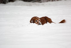 Golden retreiver playing in the snow. A golden retreiver buries her face in the snow while she plays Royalty Free Stock Photos