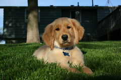 Golden Retreiver Puppy. Golden Retriever Puppy laying in grass Royalty Free Stock Photo