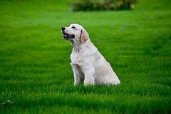 Golden retrieve puppy on  grass Stock Photography