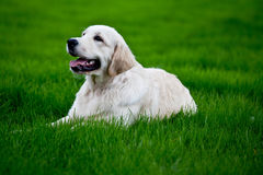 Golden retrieve puppy on  grass Royalty Free Stock Photos