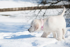 Golden retrieve puppy in winter Stock Photos
