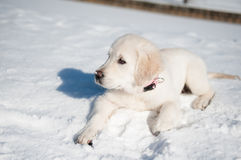 Golden retrieve puppy in winter Stock Image