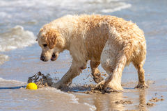 Golden retriever à la plage Photo stock