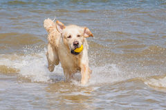 Golden retriever à la plage Photographie stock libre de droits