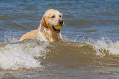Golden retriever à la plage Photo libre de droits