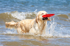 Golden retriever à la plage Images stock