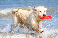 Golden retriever à la plage Photos stock