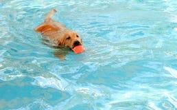 Golden retriever är hundsimning i pöl royaltyfri bild