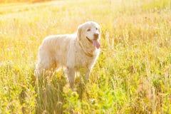 Golden retriever łąka Zdjęcie Stock