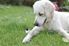 Golden retriever and 1 day old chicken Royalty Free Stock Image