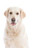 Golden Retriever. Beautiful happy looking golden retriever on white background Royalty Free Stock Photos