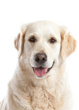Golden retriever. Beautiful golden retriever dog looking happy on white background Royalty Free Stock Image