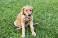 Free Golden Retriever Stock Photos - 102704013