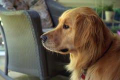 Golden retriever. Dog on a summer screened porch Stock Photography