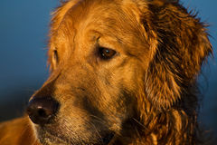 Golden Retriever Royalty Free Stock Image