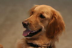 Golden Retriever. Sitting Up Royalty Free Stock Image