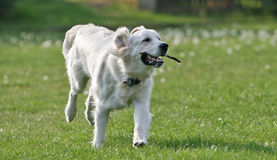 Golden retriever. Young dog golden retriever running on grass Royalty Free Stock Images