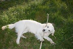 Golden Retriever 11. Golden Retriever posing for camera outdoors Royalty Free Stock Images