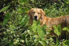 Golden Retriever. On the grasses stock image