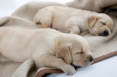 Golden retriever. Sleeping puppies of golden retriever Stock Image
