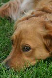 Golden Retriever. Laying in grass eyes on me Royalty Free Stock Photos
