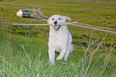 Golden Retriever 13. Golden Retriever posing for camera outdoors Royalty Free Stock Image