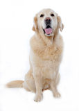 Golden retriever Stock Images