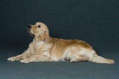Golden retriever. Animals dog pets Stock Photography