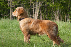 Golden Retriever. Standing Profile With Forest Background Royalty Free Stock Photo