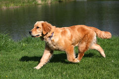 Golden Retriever. Walking With Pond Background Royalty Free Stock Photo