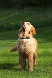 Golden Retriever. Pup Looking Up stock photo