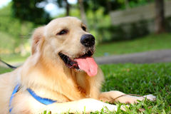 Free Golden Retriever Royalty Free Stock Photo - 14336095