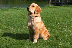 Golden Retriever. Sitting With Pond Background Royalty Free Stock Photos