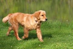 Golden Retriever. Walking Along Edge Of Pond royalty free stock photos