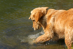 Golden Retriever. Playing With Water In Pond Stock Photo