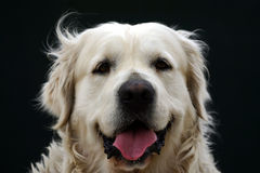 Golden Retriever. The face of a golden retriever stock photos