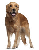 Golden Retriever, 15 months old, standing Stock Images