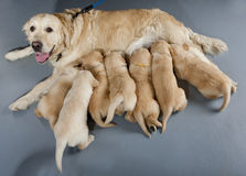 Golden retriever Royalty Free Stock Image